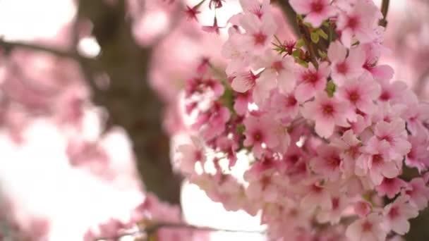 Detailní záběr Cherry Blossom Květiny 3 Axis Dolly Shot Pan a naklonit doleva