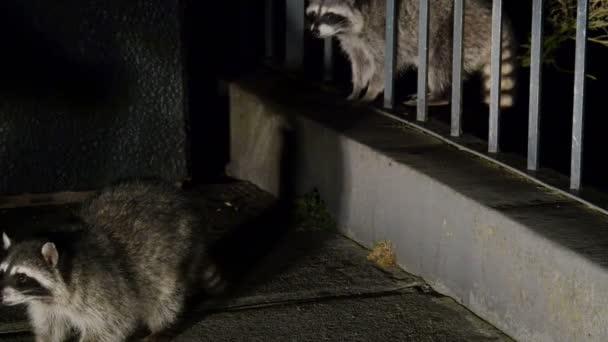 Wild Raccoon Feeding Off of Tourists Hands at Twin Peaks San Francisco