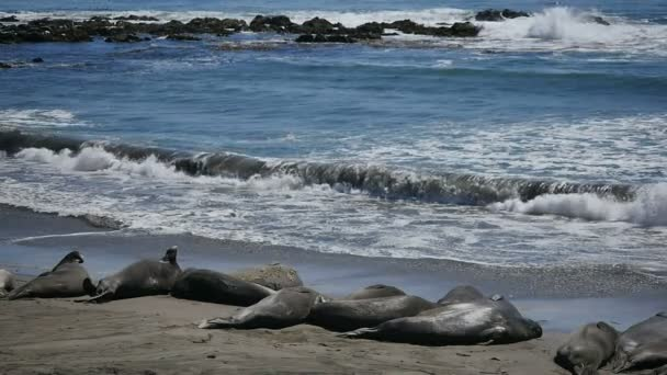 Elefántfókák Lassú mozgás 96fps RIght A part Csendes-óceán partján Kalifornia San Simeon