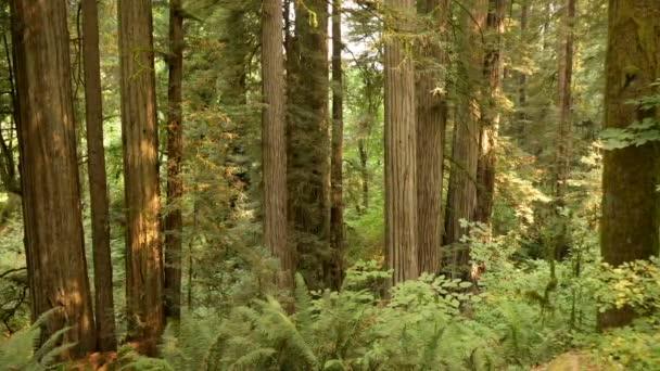Redwood National Park Stout Grove Kalifornien Pan Right