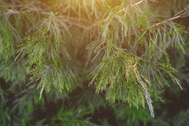 Green fluffy branches of thuja in the rays of the orange sun. Background for design and decoration