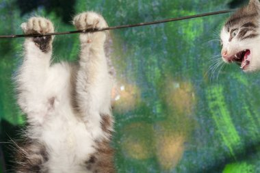 Collage, the body of the kitten hangs without a head, indignant cat head apart from the body