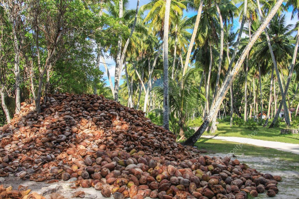 coconut oil production, coconuts near palm trees