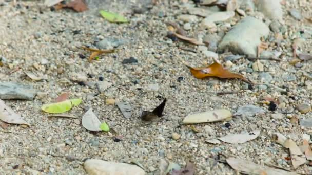Black butterfly sitting on sand close up. Beautiful butterfly with white spots on black wings on background sand and fallen leaves. Video footage rare insects in wild nature.