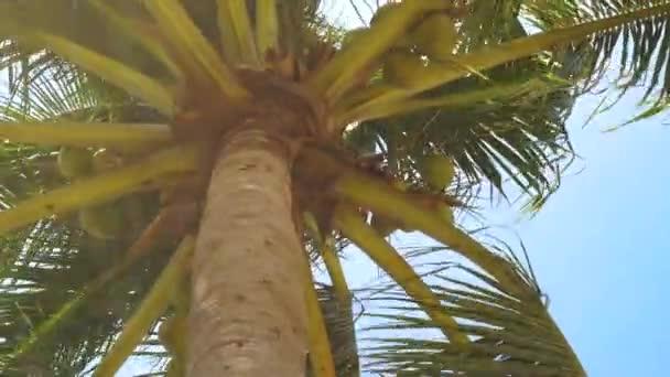 Palma s kokosem na pozadí modré oblohy. Letní krajina kokosu palmou na tropické moře