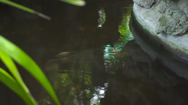 Průzračná voda v rybníku ryby. Velká ryba plavat v dekorativní rybník v letní zahradě