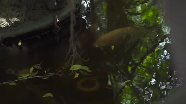 Fish swimming in garden pond close up. Big fish swimming in clear water in summer pond in garden.