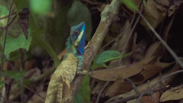 Blue iguana sitting on tree branch in rainforest close up. Portait beautiful iguana lizard with blue head in jungle. Reptile animal in nature wildlife.