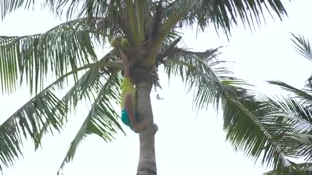 Nha Trang, Vietnam - july, 2018: asian boy climbing on palm tree pick off rope coconut. Vietnamese boy teenager harvesting coconut on palm tree.