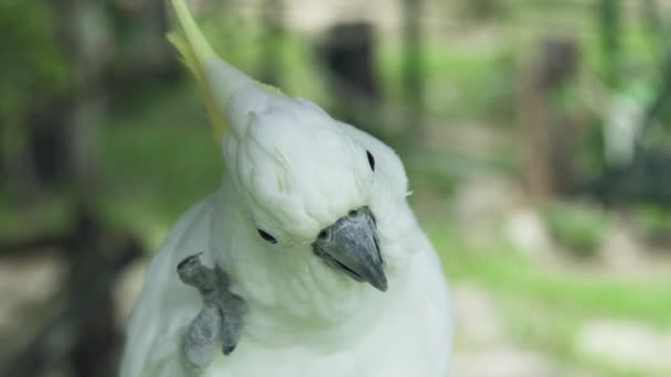 White parrot cockatoo cleaning his feathers with paw close up. Cockatoo parrot in wild nature.