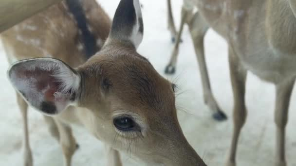 Head of spotted fallow deer in animal park close up. Portrait young sika deer. Wild forest animal.