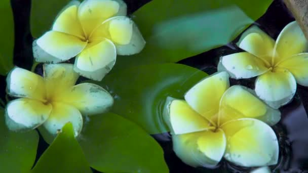 White flowers of Plumeria tree and green leaves on water surface close up. Beautiful frangipani flowers and green leaves background. Asian trees and plants.
