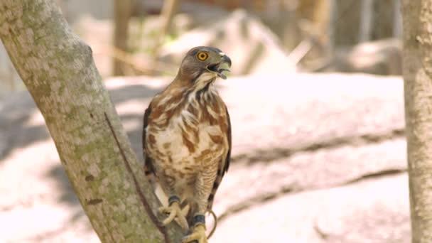 Falco rapace sul ramo di un albero vicino. Uccello predatore in natura selvaggia. Ornitologia, birdwatching, concetto di zoologia.