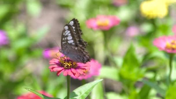 Pillangó gyűjtése a virágpor, virágzó virágok közelről. Pillangó beporzó nyári virág ágy kert virágzó.