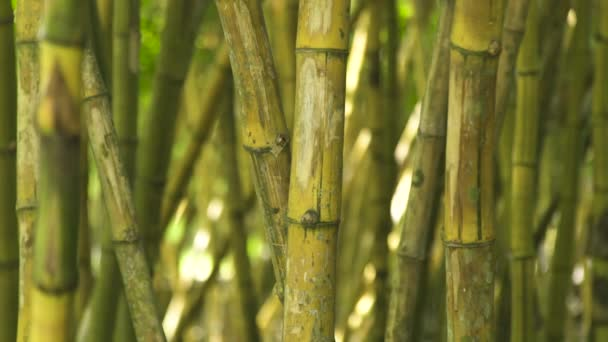 Green stem of bamboo in jungle forest. Close up green trunk of sugar cane tree in tropical rainforest.