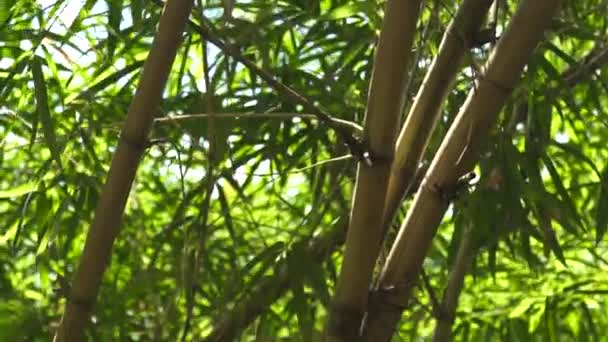 Green bamboo stem and foliage in jungle forest. Close up green leaves and trunk of sugar bamboo tree in tropical rainforest.