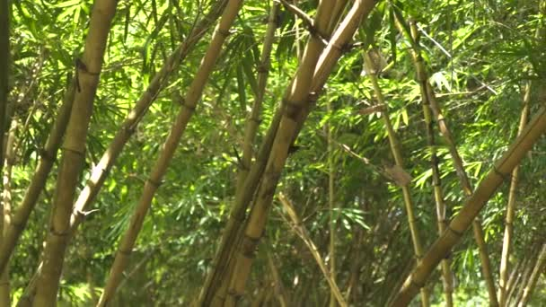 Green bamboo stem and foliage in grove of tropical forest. Close up leaves and trunk of green bamboo tree in rainforest.