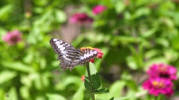Közelről pillangó gyűjt nektár virágok virágos nyári kertben. Pillangó park nyáron virágzó beporzó virágágyás.