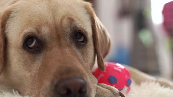 Close up head of beige labrador dog lying on floor with ball and looking into camera. Muzzle and nose labrador dog on floor in home room. Domestic animal and pets.