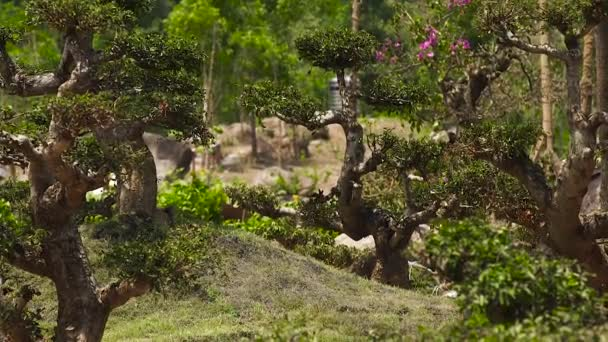 Bonsai trees in traditional garden at summer day. Beautiful bonsai on