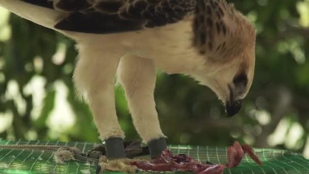 Snake orel jíst čerstvé maso, sedě na klec. Zblízka krmení dravec jestřáb. Dravých ptáků. Divoké zvíře a pet. Ornitologie, pozorování ptáků, zoologie koncept