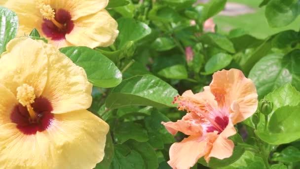Virágzó sárga hibiszkusz és zöld levelek közelről. Virágzás Hibiszkusz virág a zöld lombozat háttérben. Trópusi virágok és növények a nyári kertünkben.