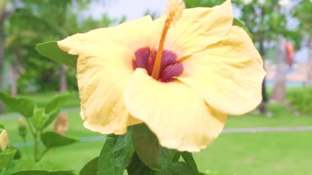 Virágzás sárga hibiszkusz és zöld levelek közelről. Bloomimg Hibiszkusz virág a zöld lombozat háttérben. Trópusi virágok és növények a nyári kertünkben.