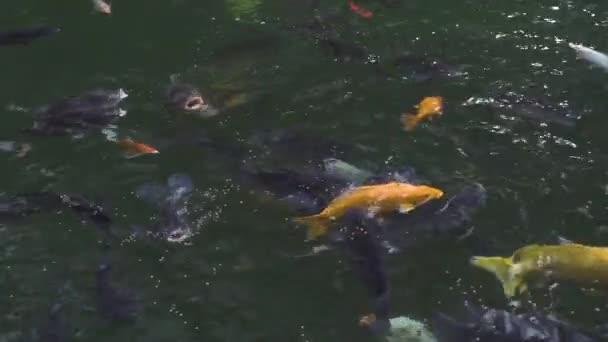 Ryba kapr Koi plavala v průhledné vodě v zahradním rybníku. Uzavřete japonský kapr Koi plavání v dekorativním rybníku v letní zahradě.