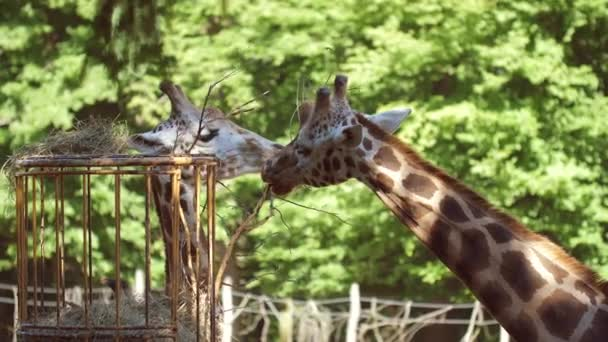 zsiráf étkezési nyalás 50fps