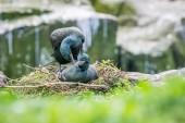 Fotografie Zwei Shags Paarung auf ihrer Klippe nisten in den Farne Islands, Mai