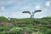 Fotografie Peinliche Moment wenn ein Papageientaucher von zwei Möwen Paarung aussieht. Farne Islands, Mai