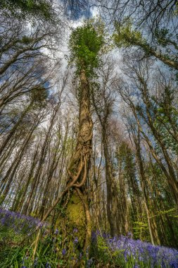 Ivy covered tree amongst bluebells. Upward canopy shot, showing spring growth in woodland. Cefn Coed woods, Brecon Beacons, Wales. April stock vector
