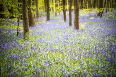 Bluebell woods springtime bloom. Carpets of flowers in Coed Cefn woodland, Brecon Beacons, Wales. April stock vector