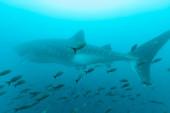 Bálnacápa a halrajok között