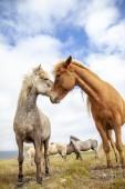 Gruppe von Pferden auf der Weide in der Islandebene im Sommer