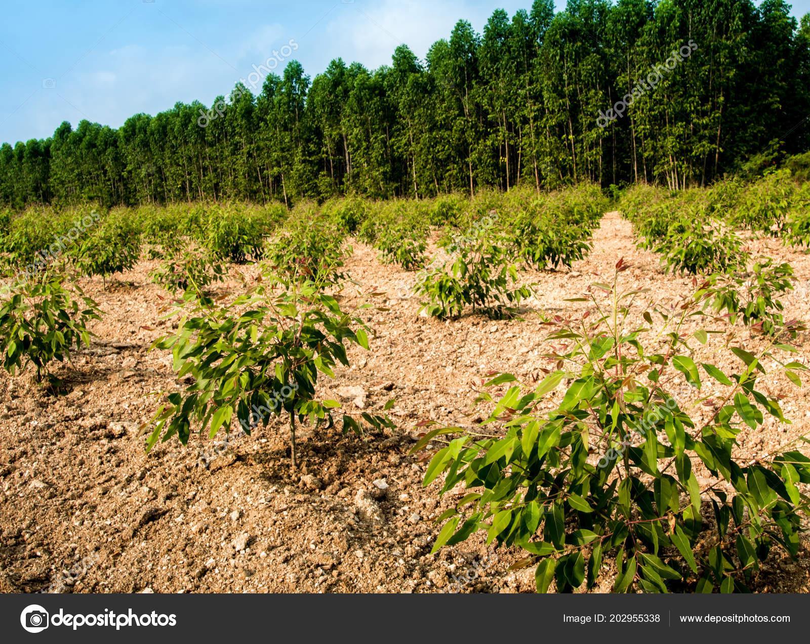 Row Growth Eucalyptus Tree Plantation Stock Photo C Satakorn S