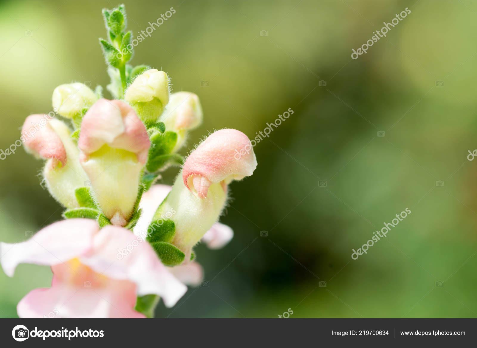 Флора пениса