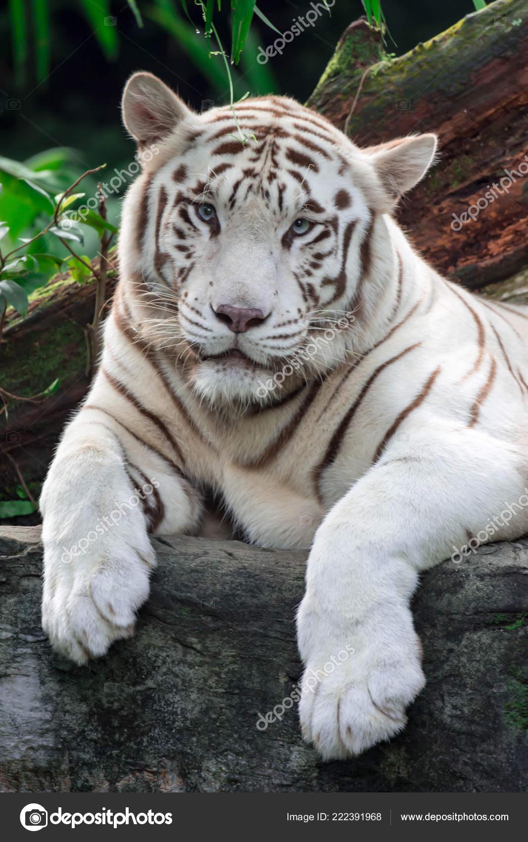 Eine Nahaufnahme Foto Eines Weißen Tiger Oder Königstiger Während