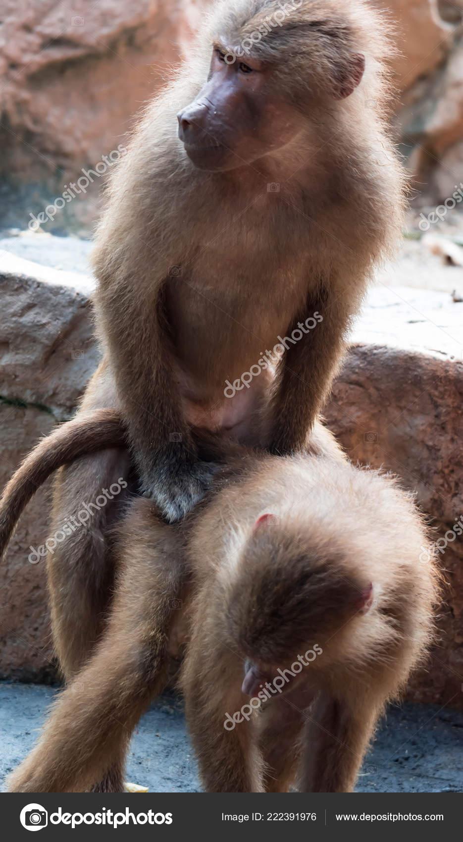 Секс у бабуинов