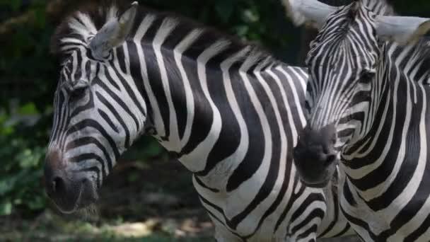 Zebra fején közelről pihentető egy állatkertben. Csíkok Zebra fejek közelről lövés