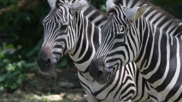 Zebras heads close up while relaxing in a zoo. Stripes Zebra heads close up shot