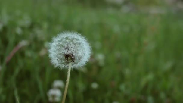 Červená s peckami Pampeliška pohybující se ve větru na zelené trávě na pozadí