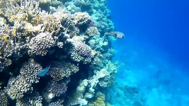 A korall-zátony hal sün