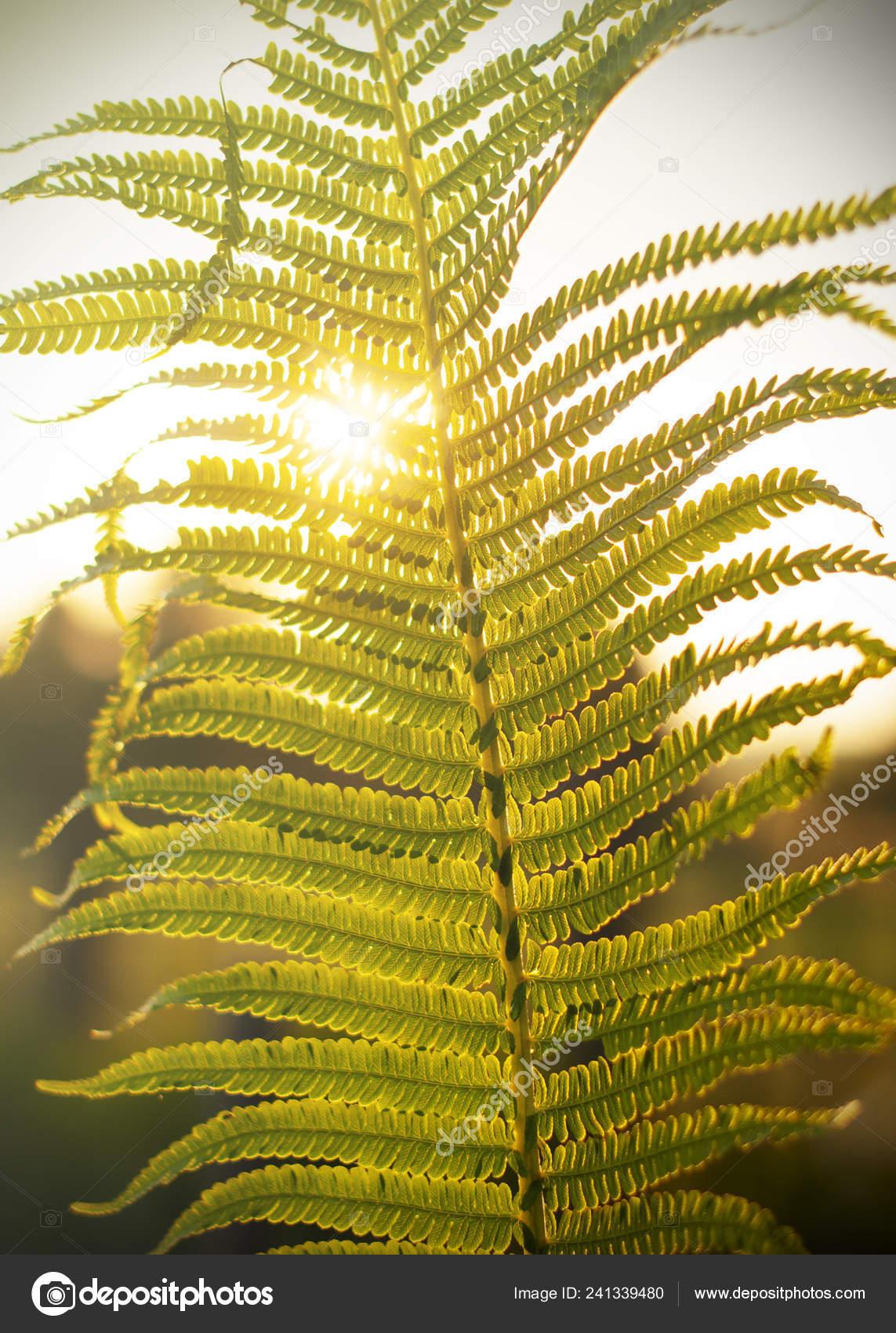 Bright Green Leaf Fern Sun Shining Stock Photo C Zarubanza Gmail Com 241339480