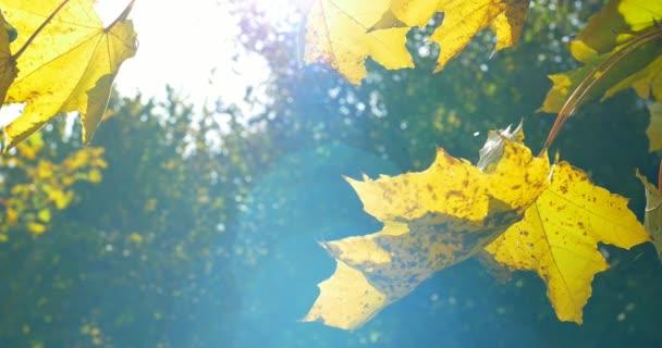 Színes őszi levelek, a fa ága. Közelről