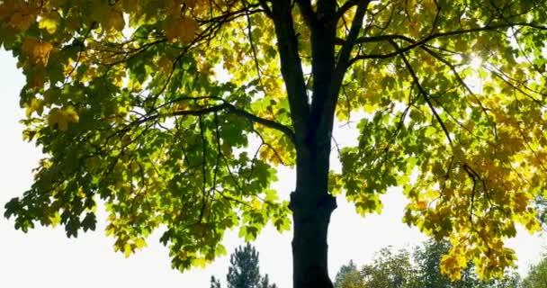 Schwenkschuss von Baum im Herbst. gelbe Blätter an Zweigen