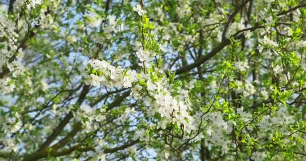 Třešňový květ. Bílé květy stromů. Jarní povaha