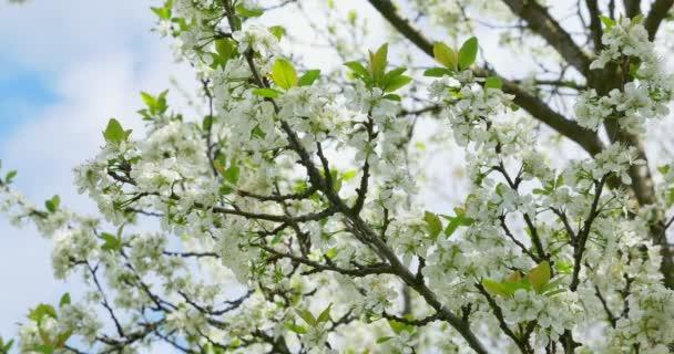 Cseresznye virágzás. Fehér virágokat a fán. Tavaszi természet