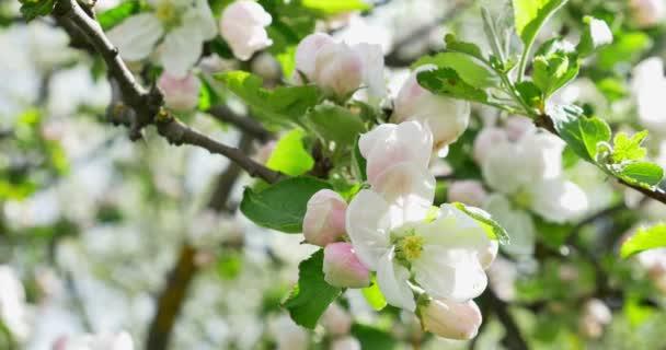 Apple virágzás. Virágzó gyümölcsösfa, kertészkedés, fehér-rózsaszín virágok