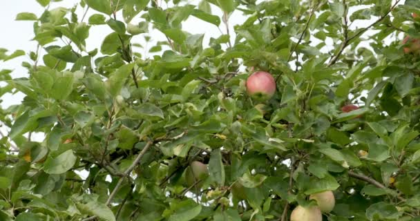 Apples hanging on the tree branches. Good harvest in the garden